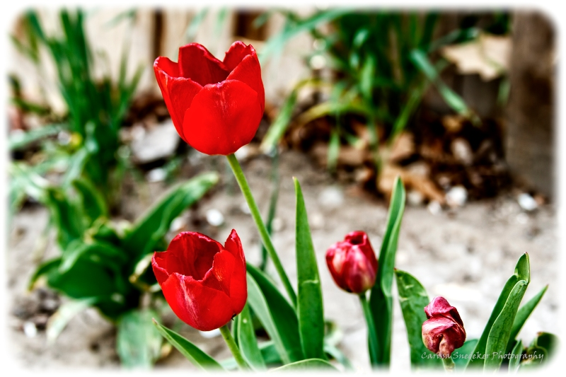 Easter Tulips-web