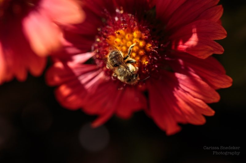 BeeOnRedFlower